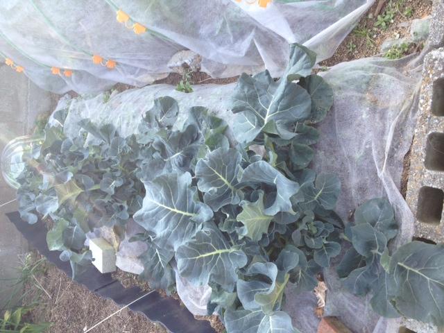 ブロッコリー、雑草抜きと追肥