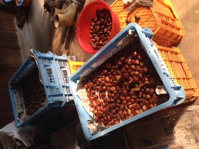 栗の収穫、始まってました
