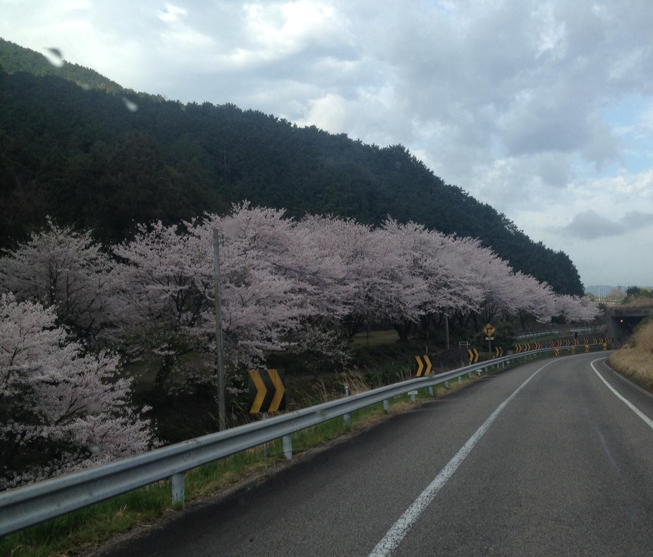 折角の桜が散らぬうちに
