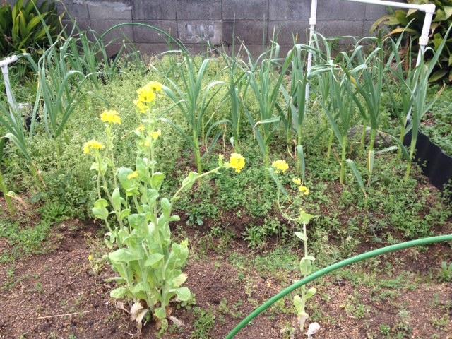 ニンニクは雑草にまみれて