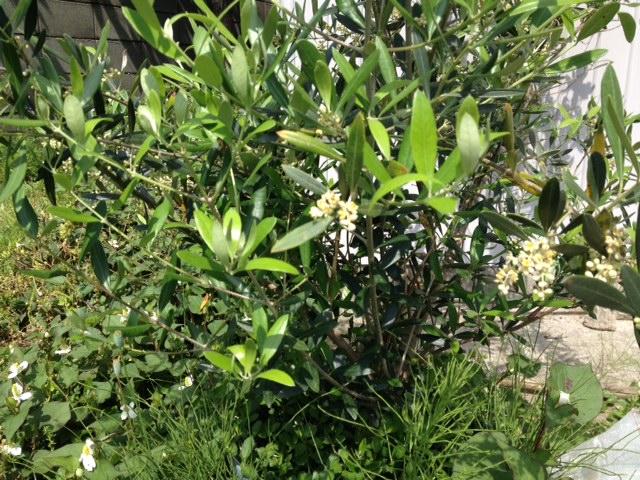 オリーブも開花
