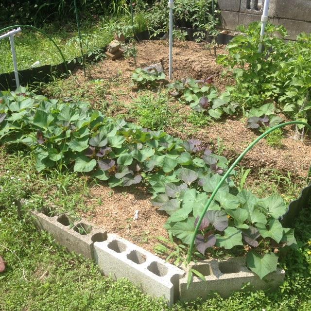 サツマイモ成長中