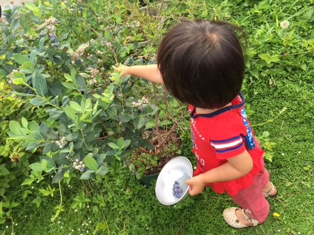 ブルーベリーの収穫が日課