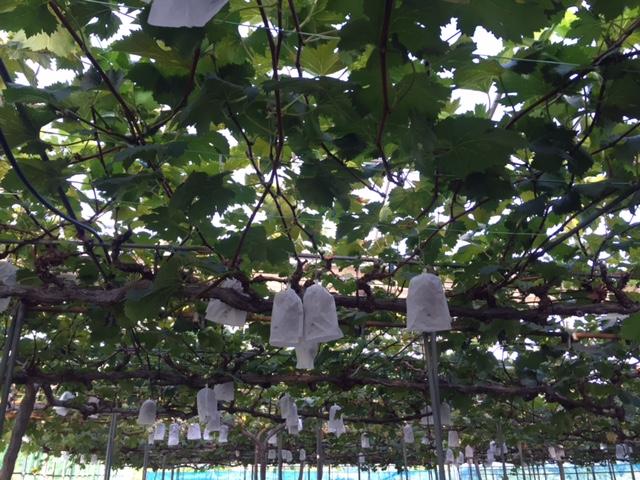早朝から真夏の(<br />  残暑の)収穫祭