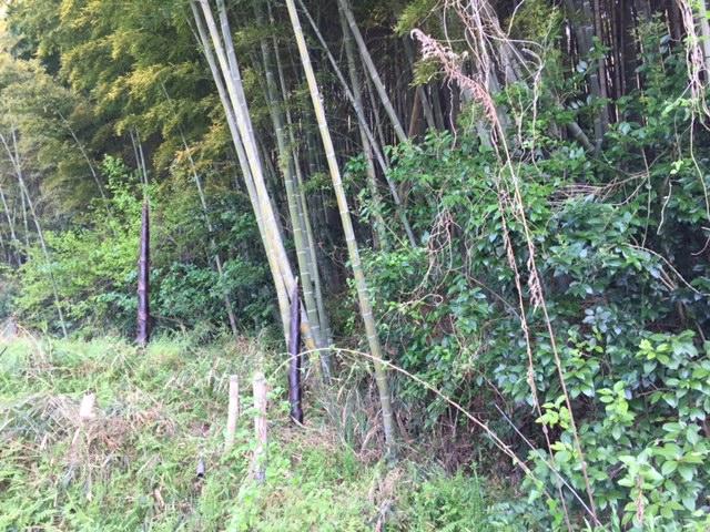 今年も竹の侵略