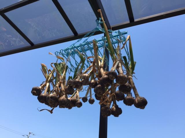 ニンニクは収穫したら即乾燥