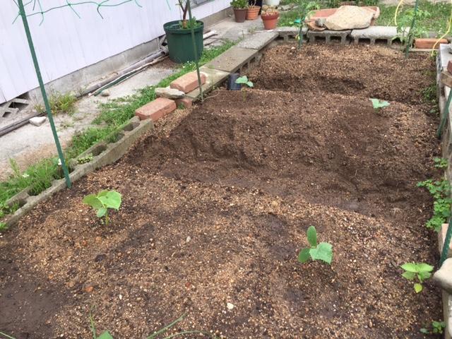 夏すずみ植え付け