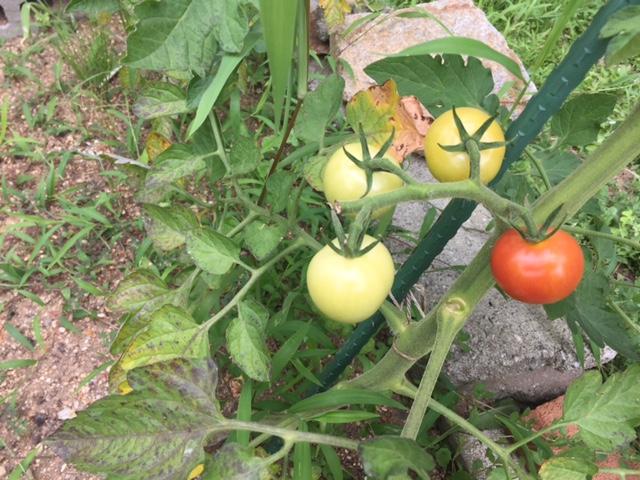 ミニトマト今年は摘果しながら